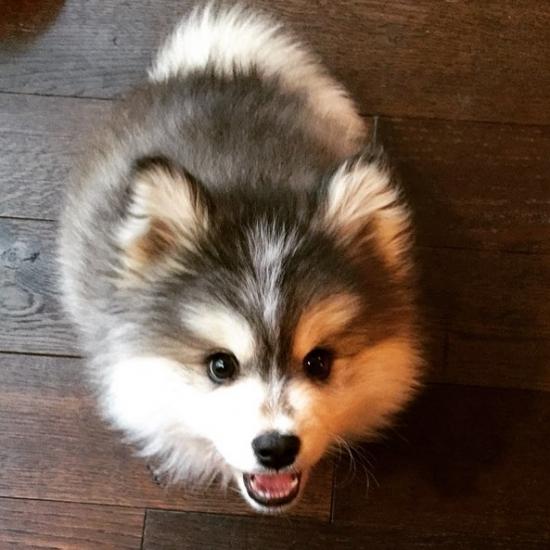 Washington pomsky : Pets and Animals in Washington - Algona